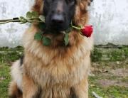 róża molly pionowa