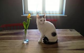 ryś i tulipan