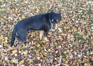 pies do adopcji Jasiek