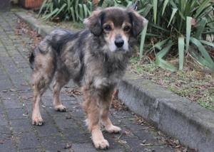 pies do adopcji oskar