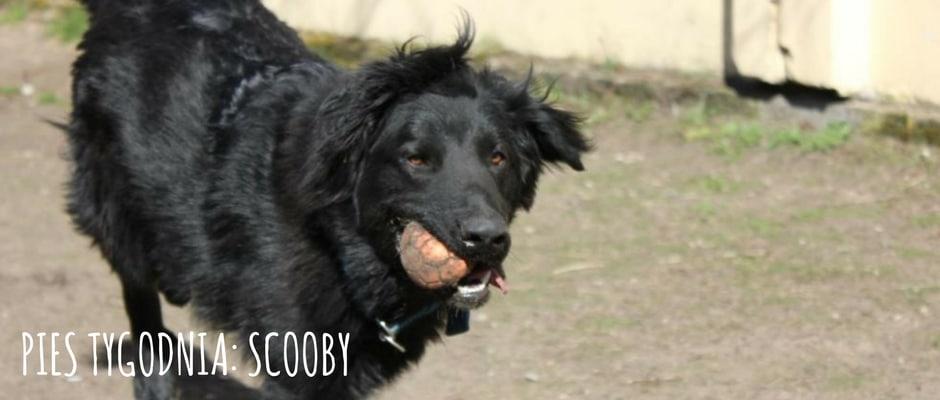 pies-tygodnia-scooby