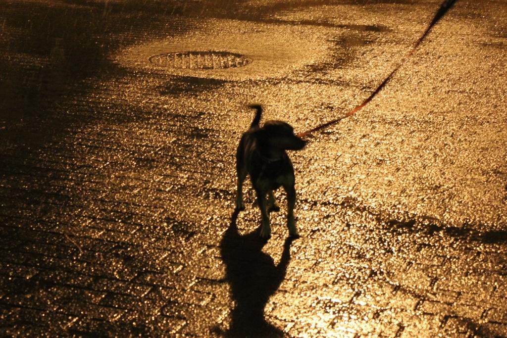 Ostatni spacer z psami